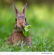 rabbit eating lettuce